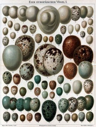 Bird-eggs3