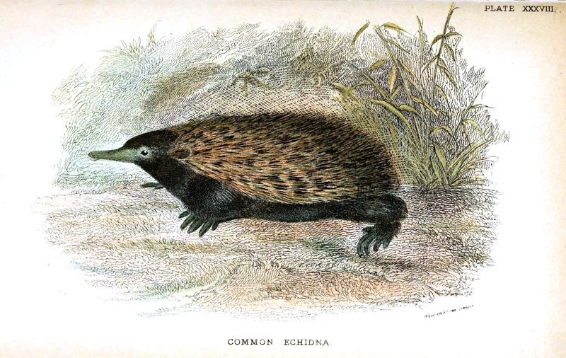 Animal - Wild - Spiney - Echidna, wild