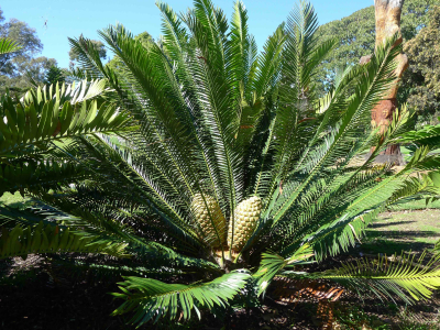 Encephalartos-with-cones